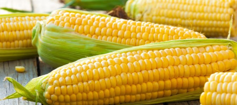 Is eating Corn healthy or not?
