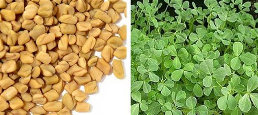 Fenugreek seeds that could change your life
