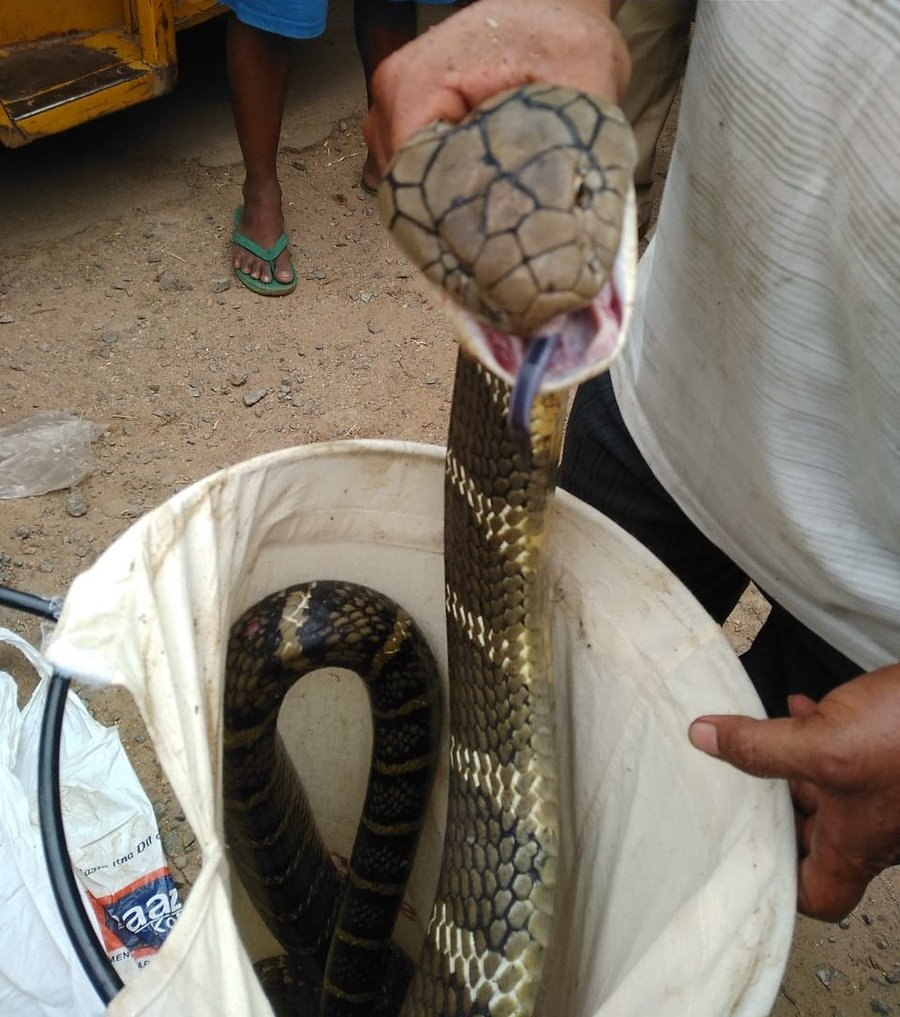 A 12 Feet Long Cobra Rescued From CRPF Camp In Rayagada