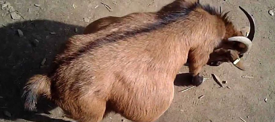 A Pregnant Goat raped and killed by 8 people!