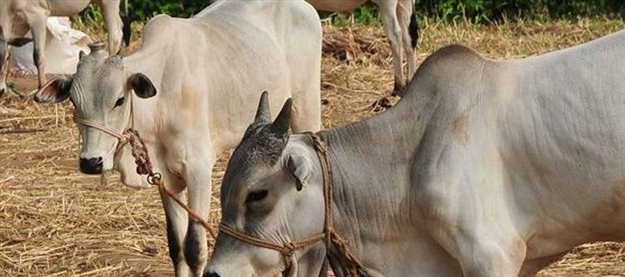 Amazon to sell Shampoos, face pack, medicinal products made from Cow Urine & Dung