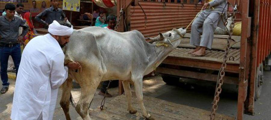 CATTLE BAN:SC asks Centre to respond to petition against cow slaughter rules