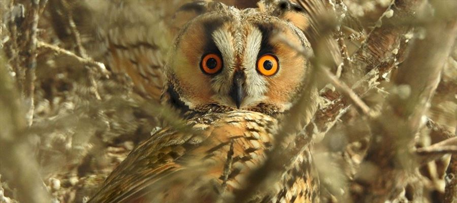 Will Owl Bird create misfortune for Elections?