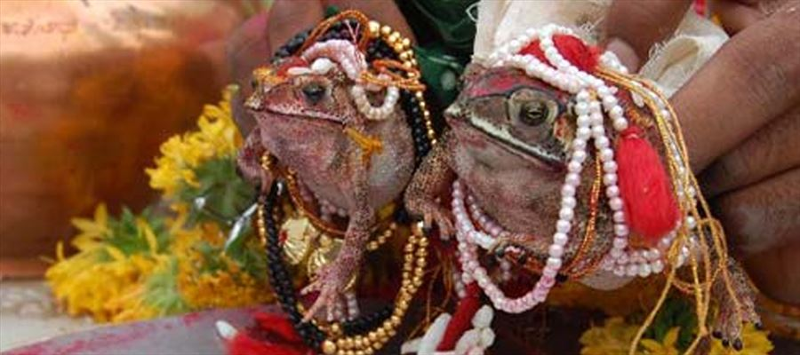 Frogs married for rainfall!