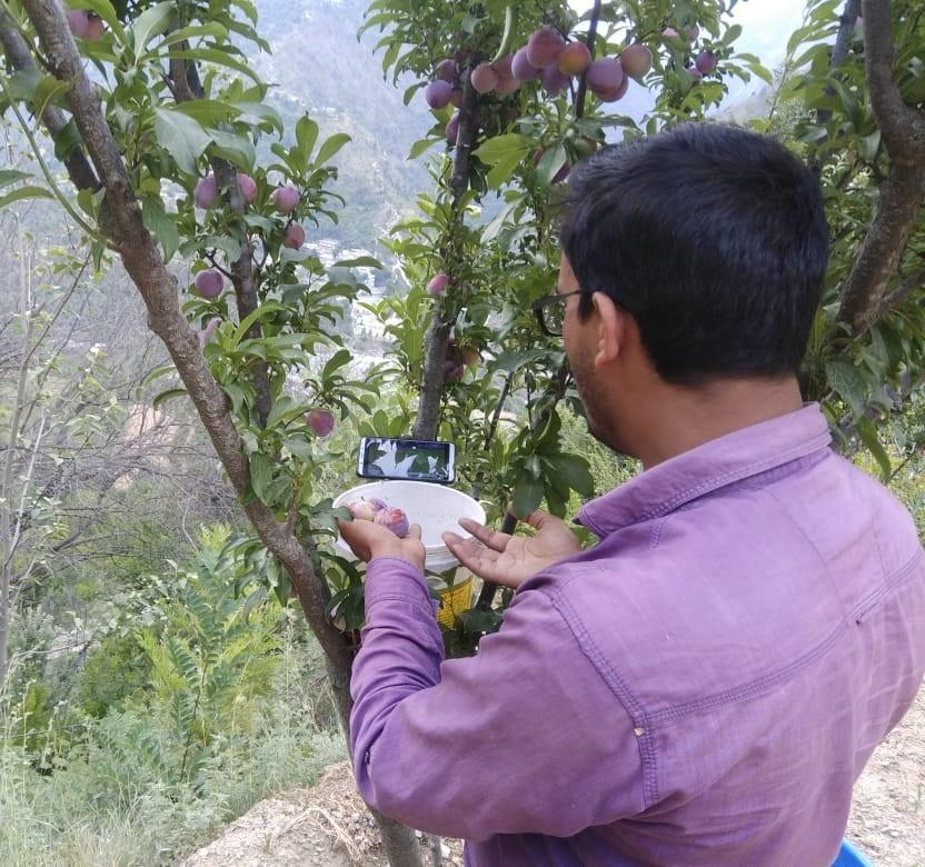 A Fan Watches India Pakistan Match While Plucking His Plum Crop In Manglour Village